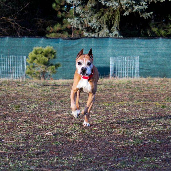 Boxer - Senior Dog - Saul